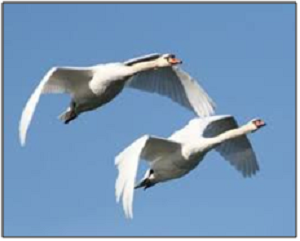 two Canada Geese flying referencing listen to the universe